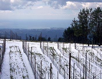 Snow covered vineyards in Santa Cruz Mountains